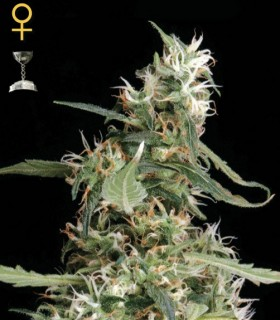 Arjan Ultra Haze 1 by Greenhouse Seeds