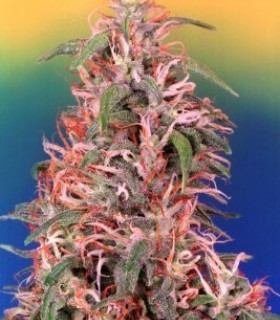 Skunk Passion  by Dutch Passion Seeds