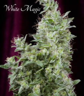 White Magic by Mandala Seeds