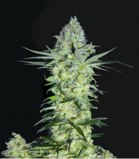 Goddess Kali by Biohazard Seeds