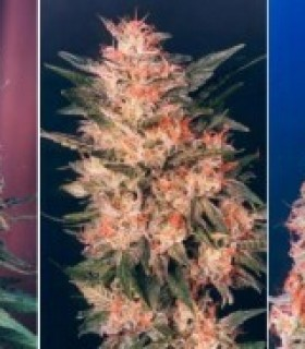 Colour Mix 3 by Dutch Passion Seeds