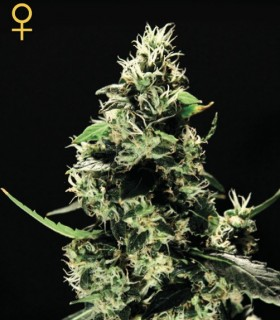 K-Train by Greenhouse Seeds