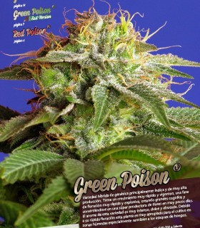 Green Poison F1 Fast Version by Sweet Seeds