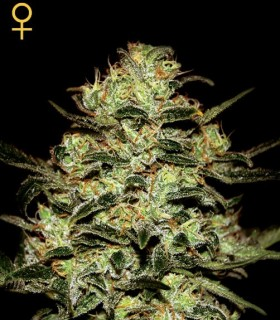 Moby Dick by Greenhouse Seeds