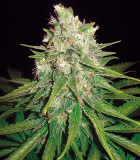 Mazar x Great White Shark by World of Seeds