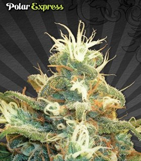 Polar Express by Auto Seeds
