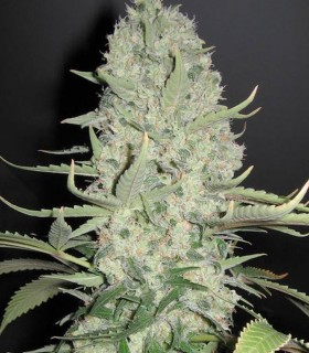 White Widow x Big Bud by Female Seeds