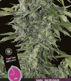 Auto Maxi Haze by Grassomatic Seeds