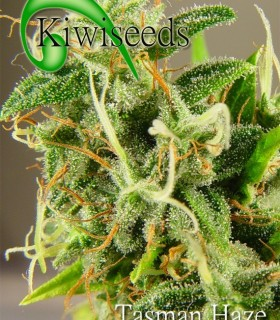 Tasman Haze by Kiwi Seeds