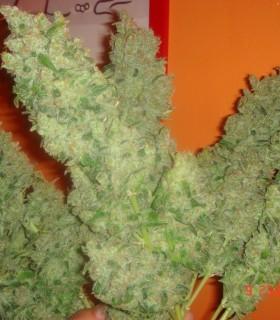 Jack La Mota by Medical Seeds