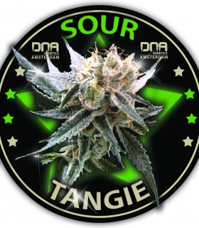 Sour Tangie by DNA Genetics