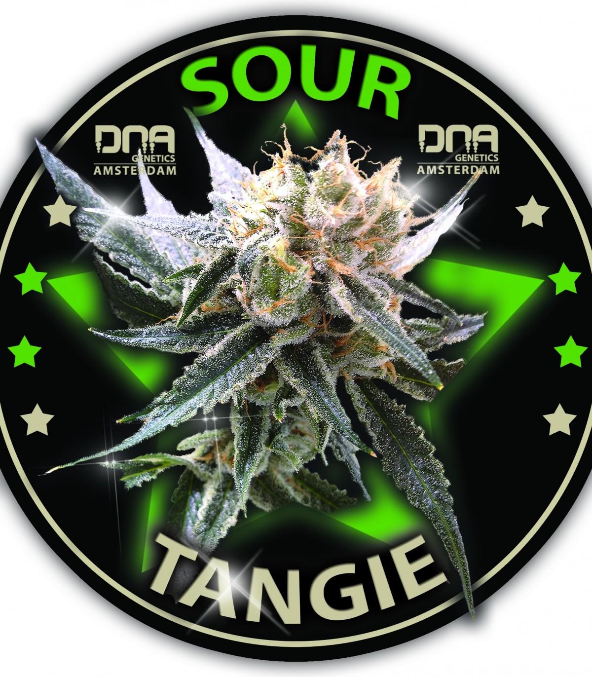 Sour Tangie - 3 feminized