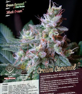Cream Caramel F1 Fast Version by Sweet Seeds