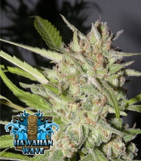 Hawaiian Wave by Ripper Seeds