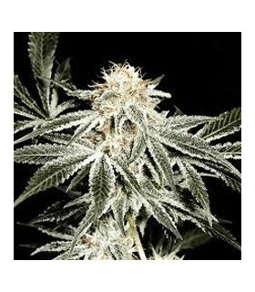 Gardeners Choice by Sagarmatha Seeds