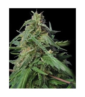DR. Jekill by Kannabia Seeds