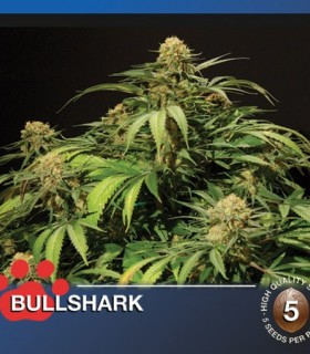 Bullshark by The Bulldog Seeds