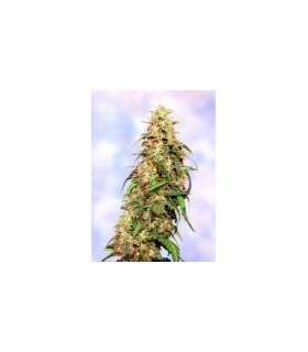 Special K by Sagarmatha Seeds
