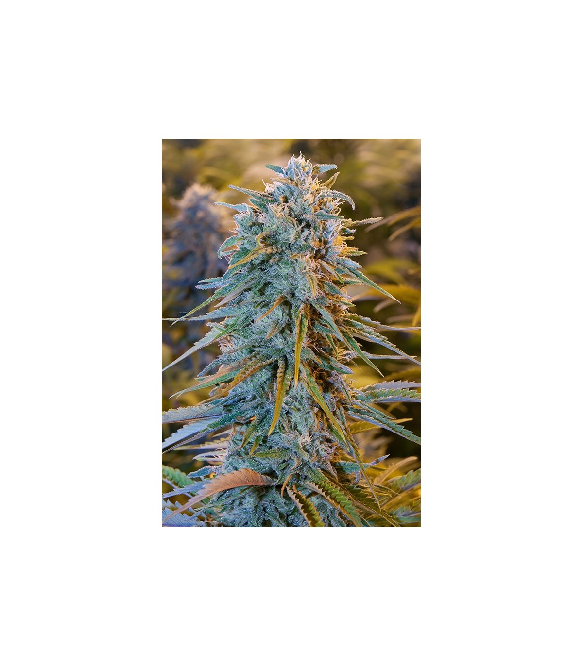 Blue Dream - 3 feminized