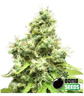 Medi Bomb 1 by Bomb Seeds