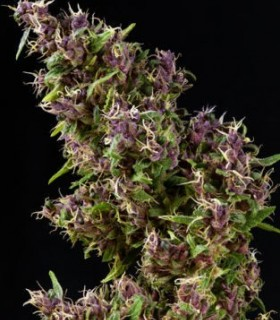 Purple Paro Valley by Mandala Seeds