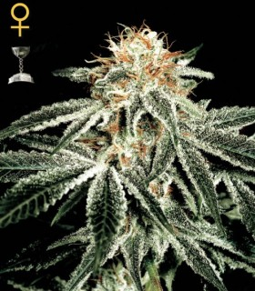 White Widow by Greenhouse Seeds