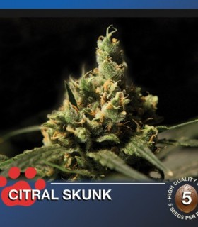 Citral Skunk by The Bulldog Seeds