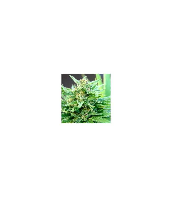 Green Haze x Thai