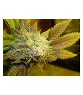 Bubba 76  by Emerald Triangle Seeds