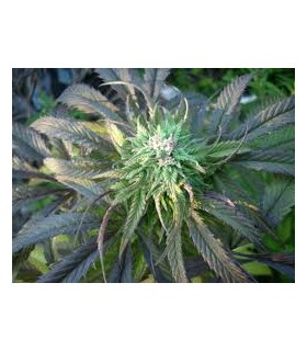Royal Purple Kush  by Emerald Triangle Seeds