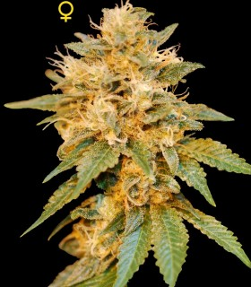 Snowland by DNA Genetics