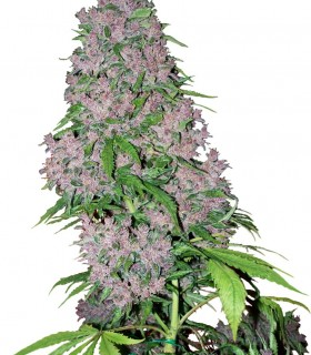 Purple Bud by White Label Seeds