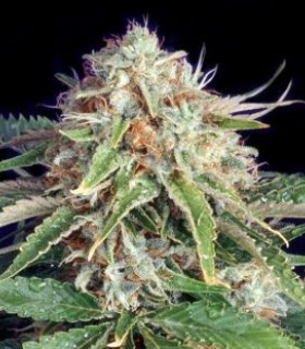 Fast Ryder II by The Bulldog Seeds