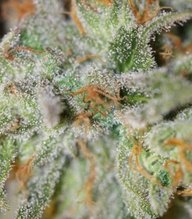 Jack Straw by TGA Subcool Seeds
