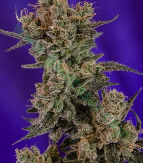 Professor Chaos by TGA Subcool Seeds