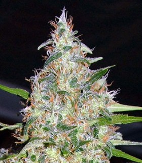 Bubblehead 13 by Big head seeds