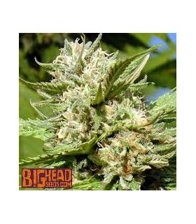 Headstone by Big head seeds