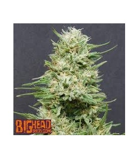 Heavyhead by Big head seeds