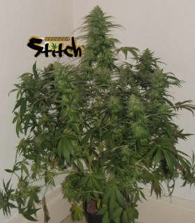 Russian Fuel by Flash Seeds