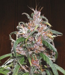 Purple Haze Thai by Ace Seeds