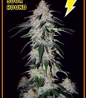 Sour Hound by Mephisto Genetics