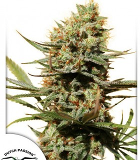 The Edge by Dutch Passion Seeds
