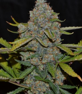 Auto CBG by Cannabiogen Seeds