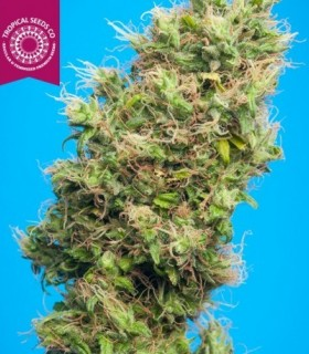 Cognition by Tropical Seeds