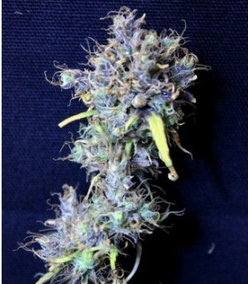 Double Zamal by Tropical Seeds