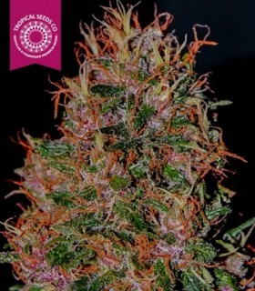 Durbakistan by Tropical Seeds