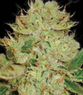 Auto Bigger Bud by Bulk Seed Bank