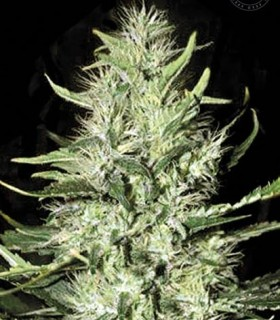 Auto Mazar Extra by Bulk Seed Bank