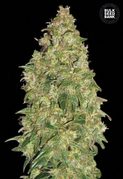 Acheter bulk seed bank dubai poison graines de cannabis for Acheter poison