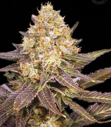 Lavender Best
